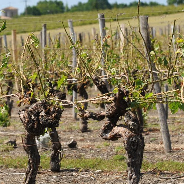 vineyards-damaged